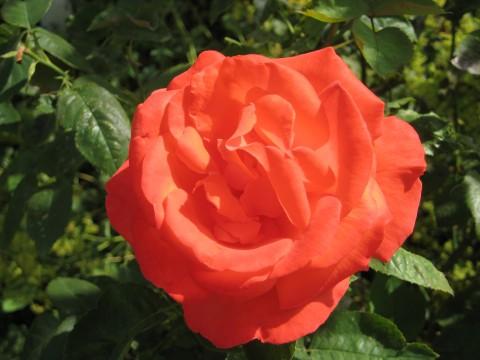 Rose im Sommer 2020